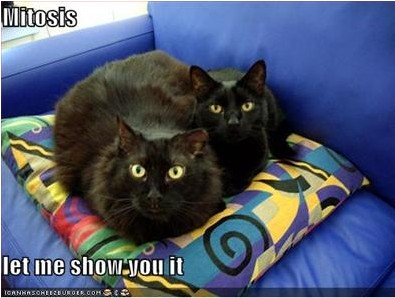 http://scienceroll.files.wordpress.com/2007/12/lolcat-mitosis.jpg